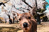 Nara, la ciudad de los ciervos de Japón